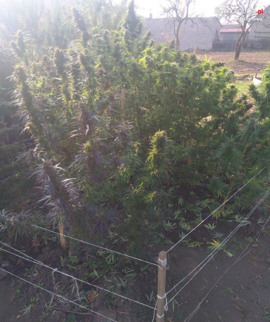 Policja wykryła plantację konopi 1