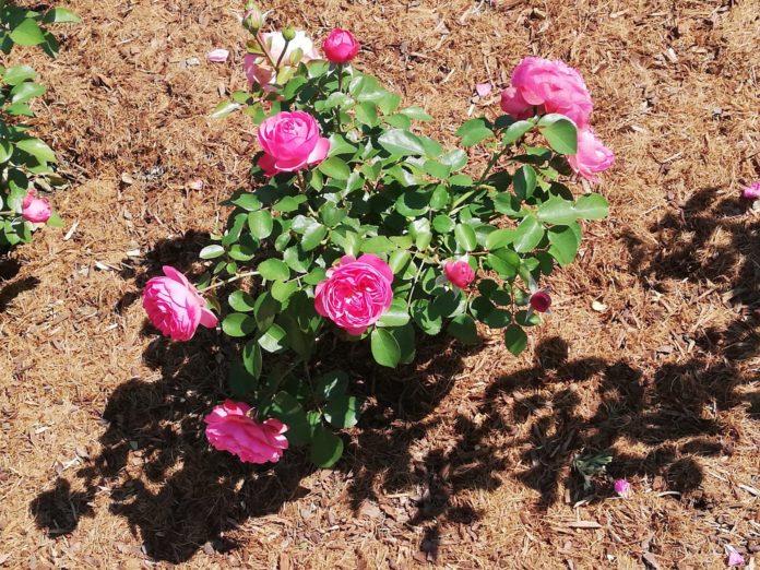 Któż nie lubi róż? 5
