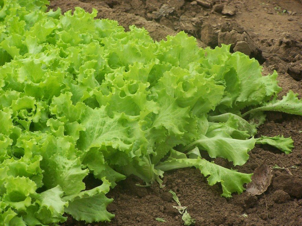 Jak ratować sałatę przed ślimakami i chorobotwórczymi grzybami? 1
