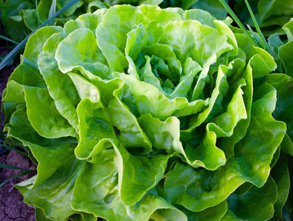 Jak ratować sałatę przed ślimakami i chorobotwórczymi grzybami? 3