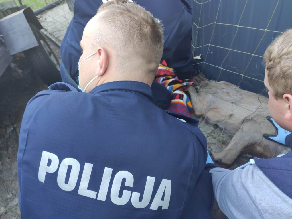 Policjanci pomogli rannej sarnie 3