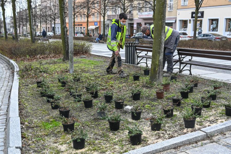 W Alejach uzupełniają zieleń po zimie. Rośliny sponsoruje firma, która współpracuje z miastem w ramach dofinansowanego przez Unię projektu 1