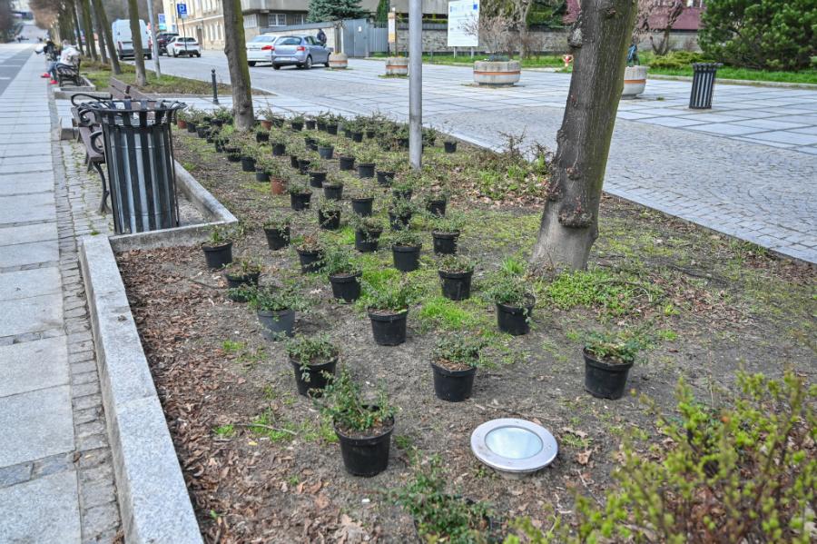 W Alejach uzupełniają zieleń po zimie. Rośliny sponsoruje firma, która współpracuje z miastem w ramach dofinansowanego przez Unię projektu 2