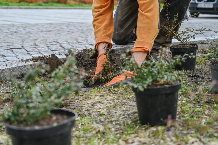 W Alejach uzupełniają zieleń po zimie. Rośliny sponsoruje firma, która współpracuje z miastem w ramach dofinansowanego przez Unię projektu 6