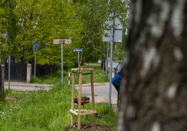 Sadzą drzewa w Alei Brzozowej 7