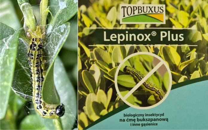 Jak zwalczyć gąsienice ćmy bukszpanowej? Pomoże tu Topbuxus Lepinox Plus! 2