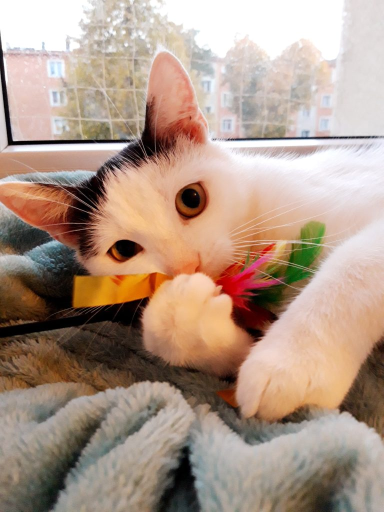 """Pilnie szukamy domów dla cudownych kocich """"dwupaków"""". Zwierzaki przebywają w domach tymczasowych, które mogą niebawem stracić. 8"""