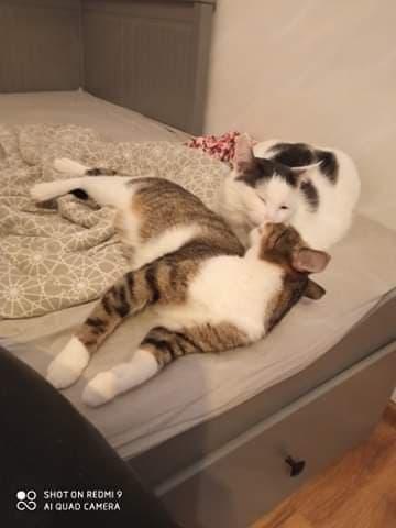 """Pilnie szukamy domów dla cudownych kocich """"dwupaków"""". Zwierzaki przebywają w domach tymczasowych, które mogą niebawem stracić. 10"""