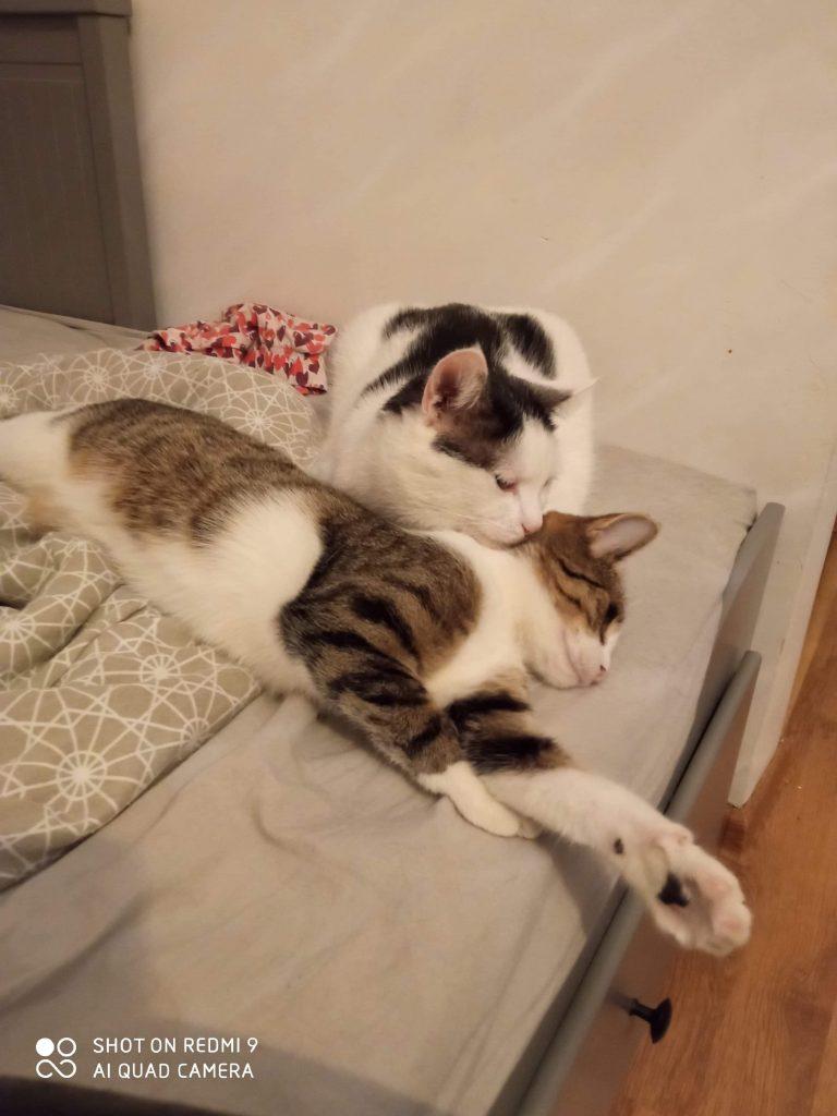"""Pilnie szukamy domów dla cudownych kocich """"dwupaków"""". Zwierzaki przebywają w domach tymczasowych, które mogą niebawem stracić. 11"""