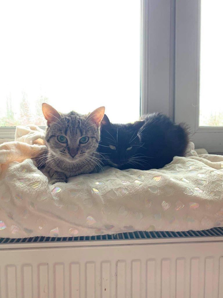 """Pilnie szukamy domów dla cudownych kocich """"dwupaków"""". Zwierzaki przebywają w domach tymczasowych, które mogą niebawem stracić. 2"""