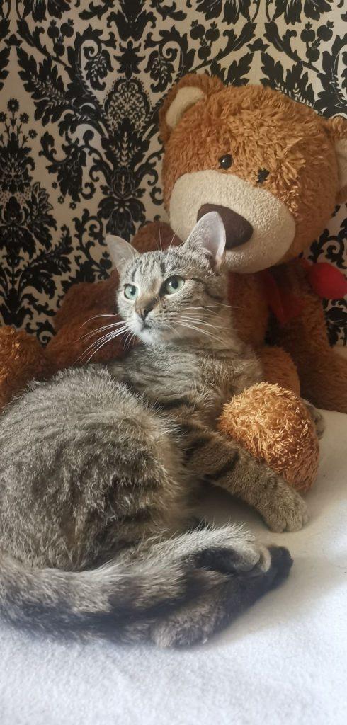 """Pilnie szukamy domów dla cudownych kocich """"dwupaków"""". Zwierzaki przebywają w domach tymczasowych, które mogą niebawem stracić. 3"""
