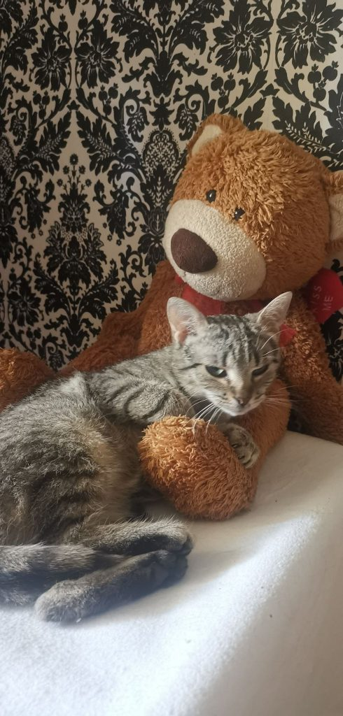 """Pilnie szukamy domów dla cudownych kocich """"dwupaków"""". Zwierzaki przebywają w domach tymczasowych, które mogą niebawem stracić. 4"""